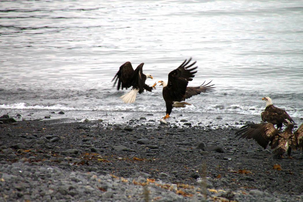 eagle predator bird battle    dw wallpaper