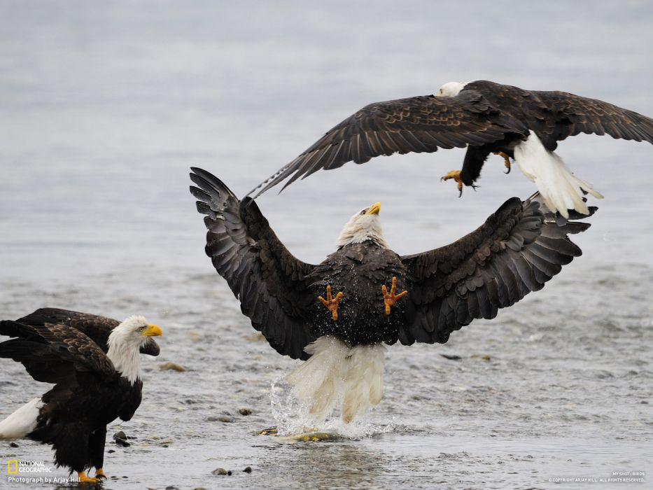eagle predator bird battle    da wallpaper