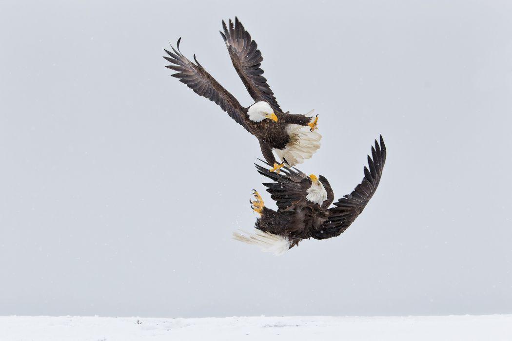 eagle predator bird battle winter        d wallpaper