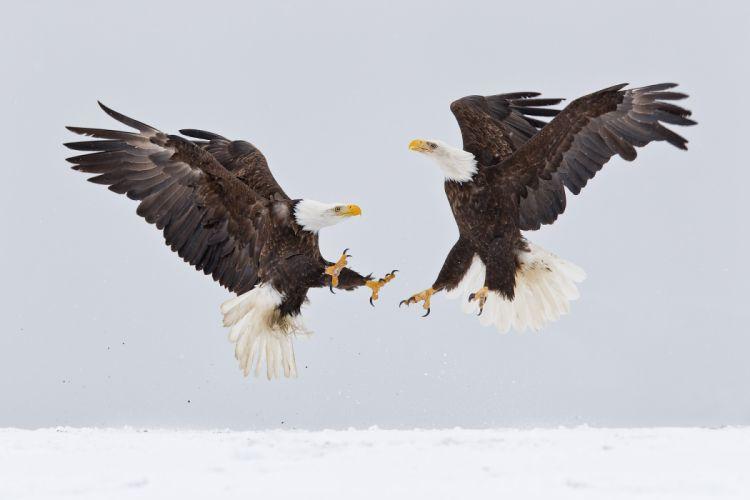 eagle predator bird battle winter f wallpaper