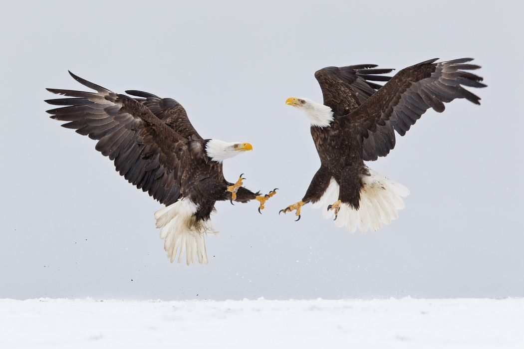 eagle predator bird battle winter   f wallpaper