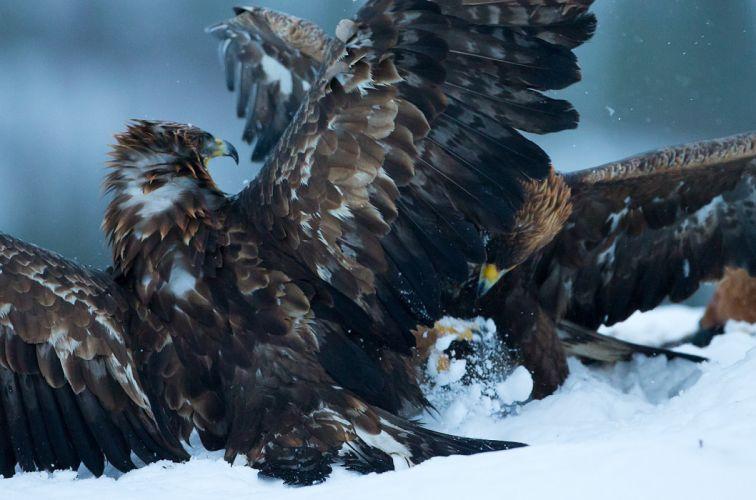 eagle predator bird battle winter j wallpaper