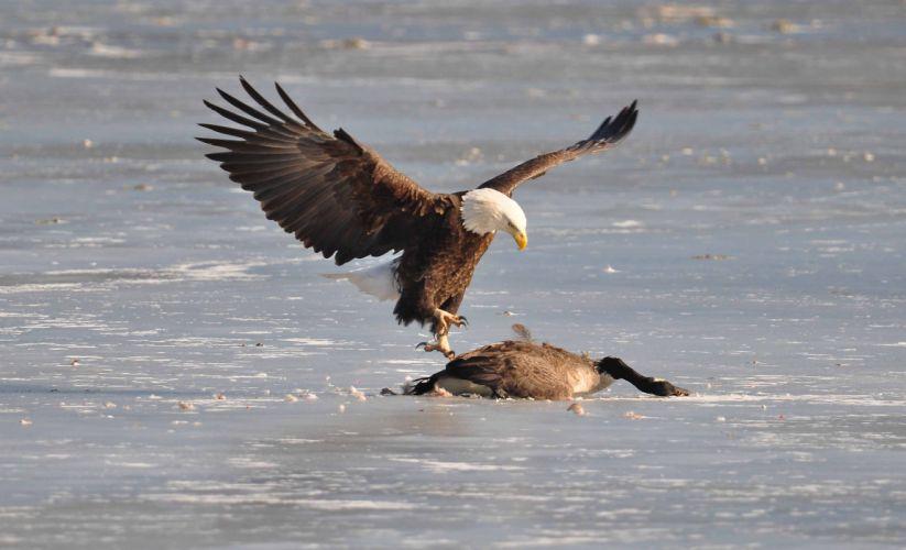 eagle predator bird geese goose f wallpaper