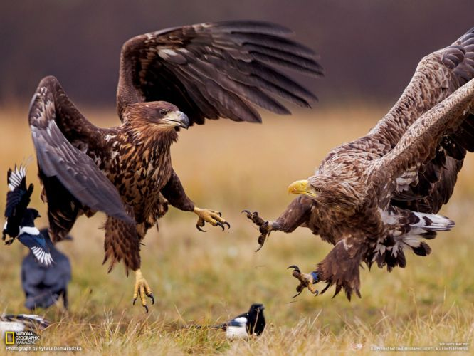 eagle predator bird hawk battle f wallpaper