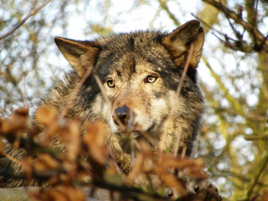 Eurasian wolf wolves         f wallpaper