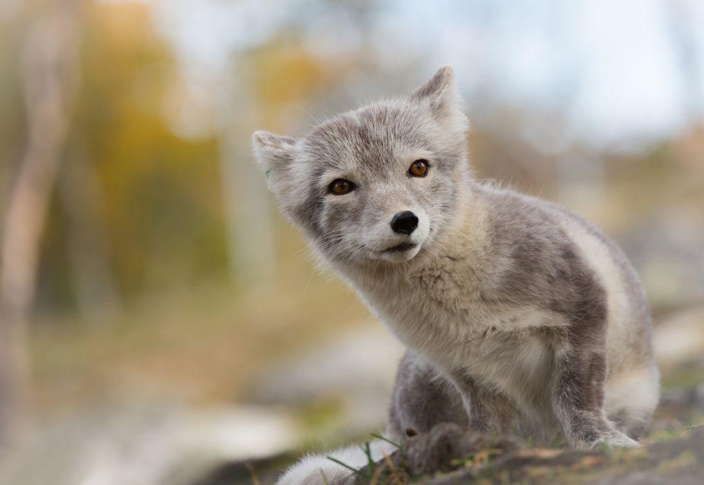 fox Arctic wallpaper