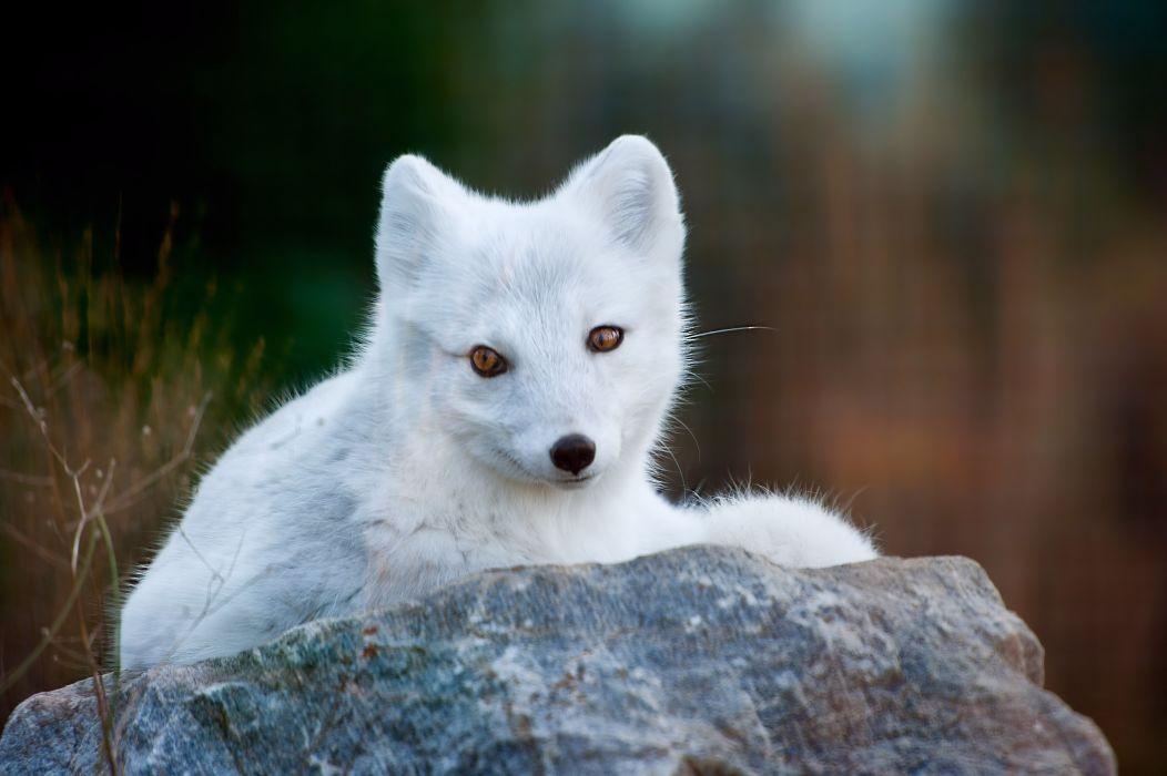 Foxes White Animals fox wallpaper