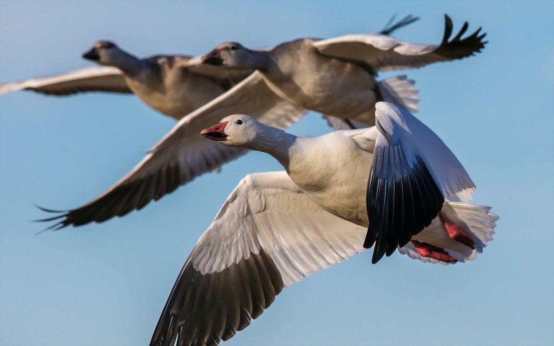 geese birds flying snow goose wallpaper