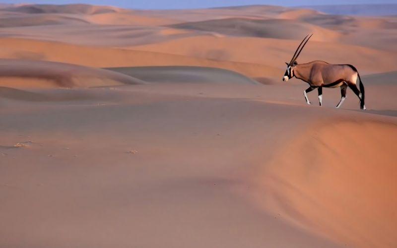gemsbok oryx desert sand wallpaper