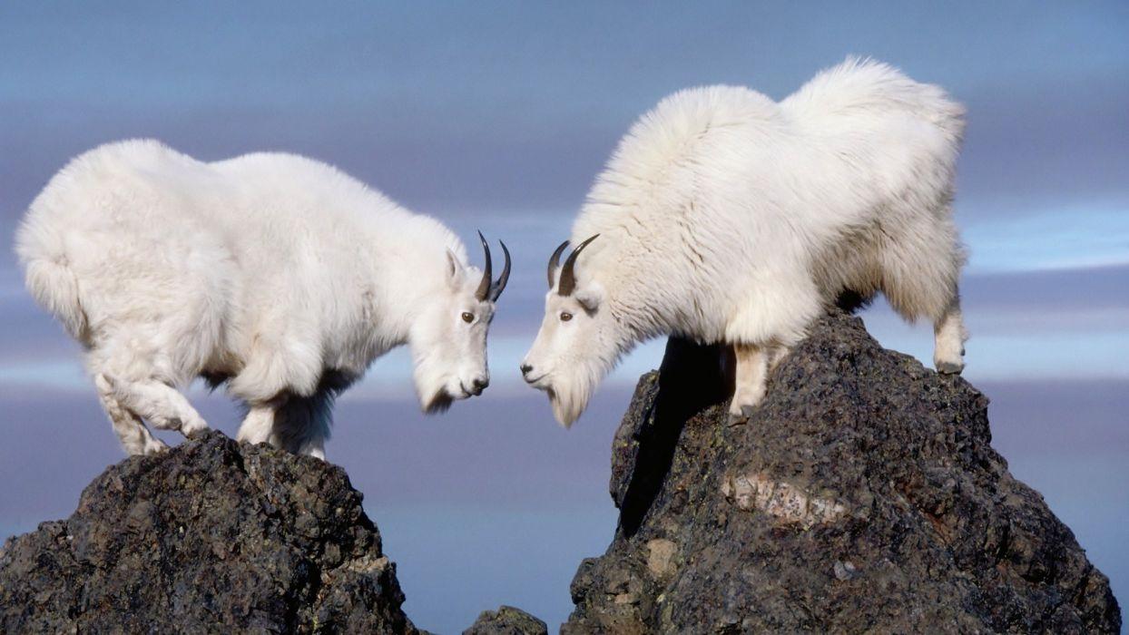 goat white wallpaper