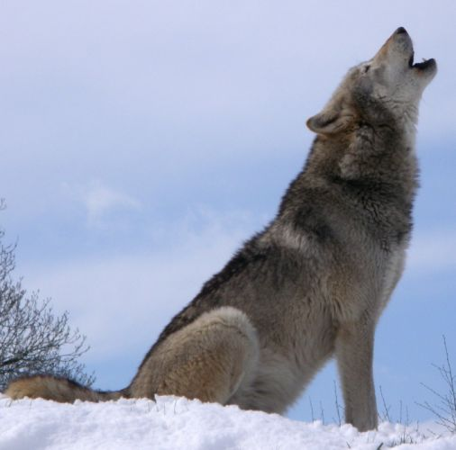 gray wolf wolves t wallpaper