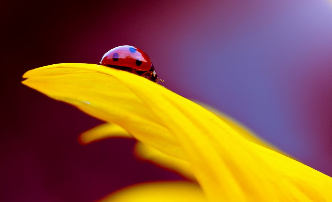 Insects Ladybug bokeh wallpaper