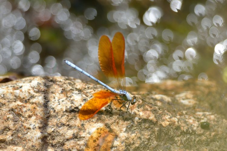 Insects Dragonflies Animal dragonfly bokeh macro wallpaper