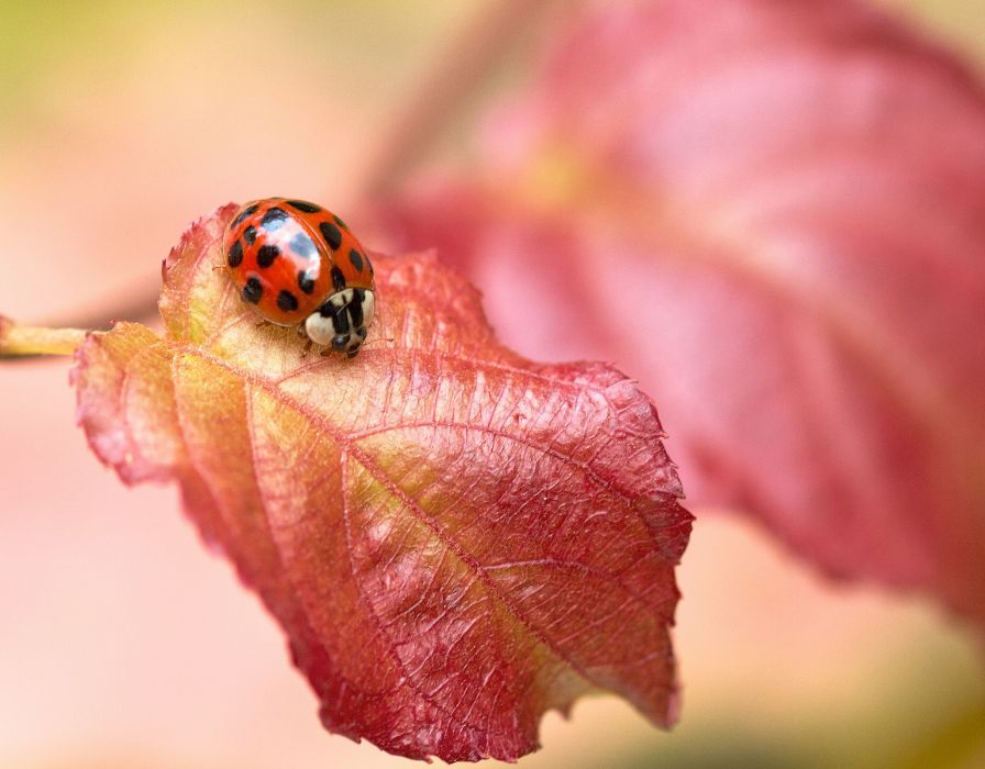 Insects Ladybugs Foliage Animals bokeh wallpaper