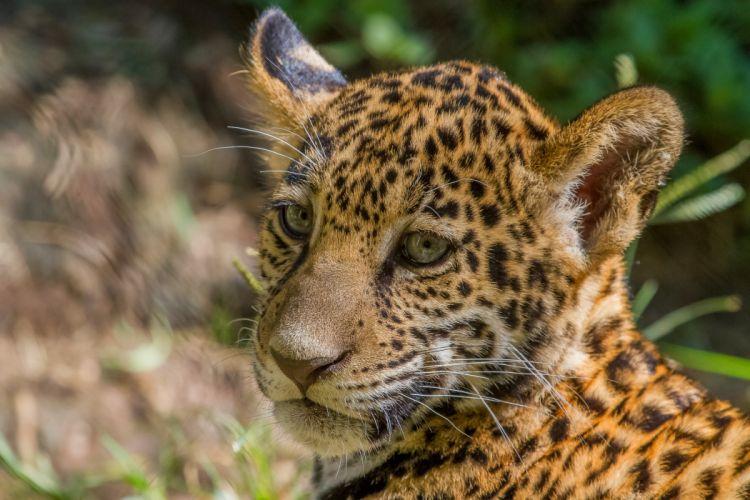 jaguar cub cat wild cat muzzle baby wallpaper