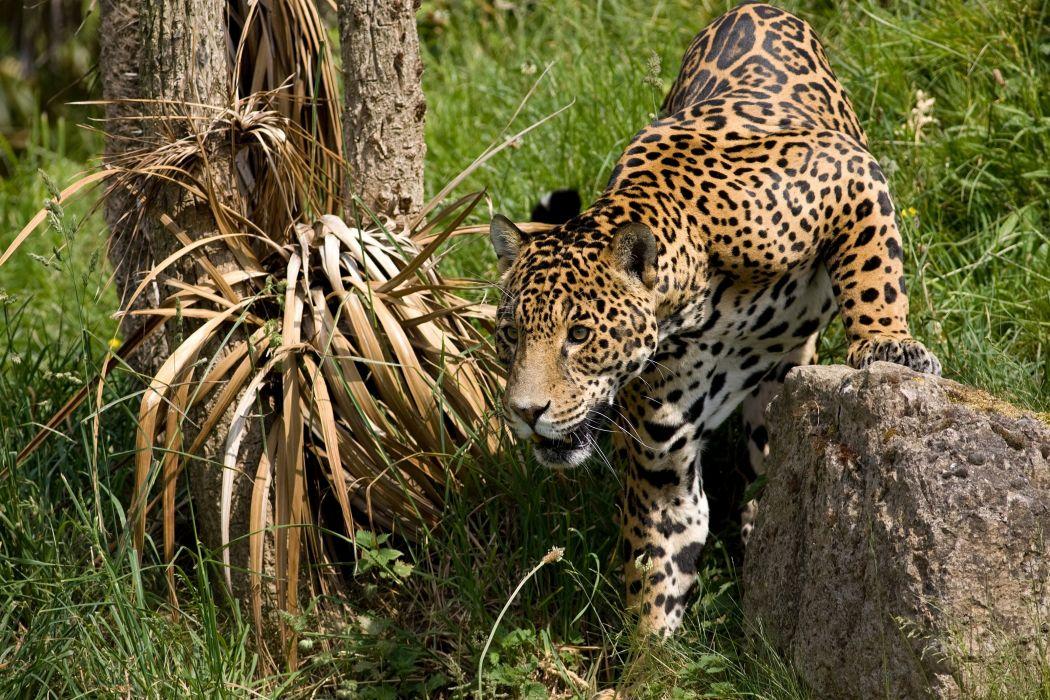 jaguar wildcat wallpaper