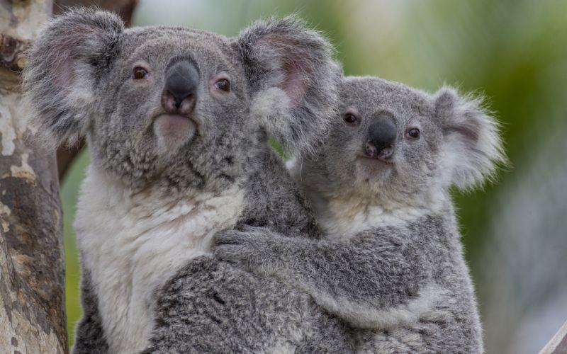 Koala baby h wallpaper