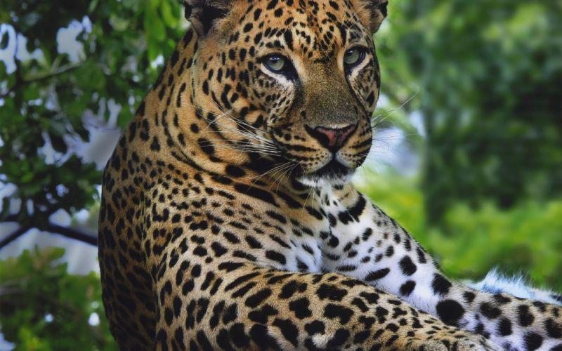 leopard handsome grace wallpaper