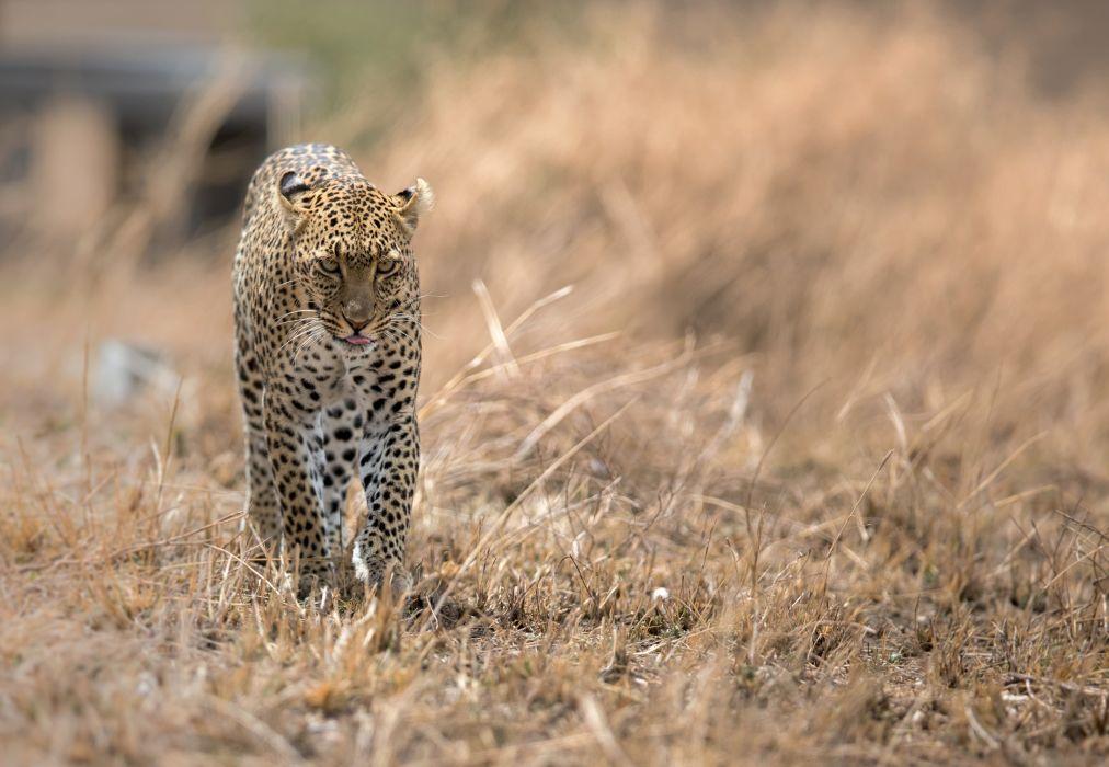 leopard wildcat   g wallpaper