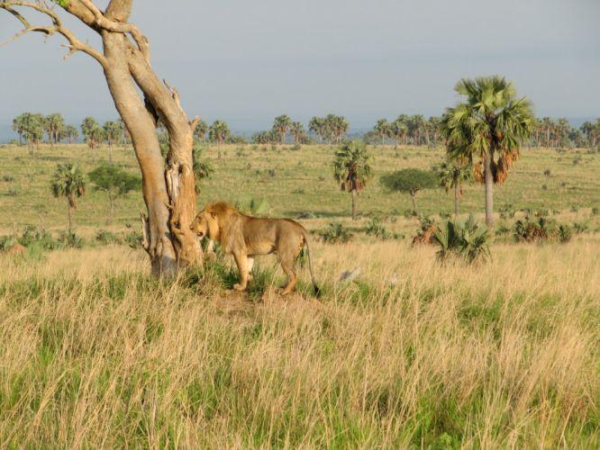 lion predator g_JPG wallpaper