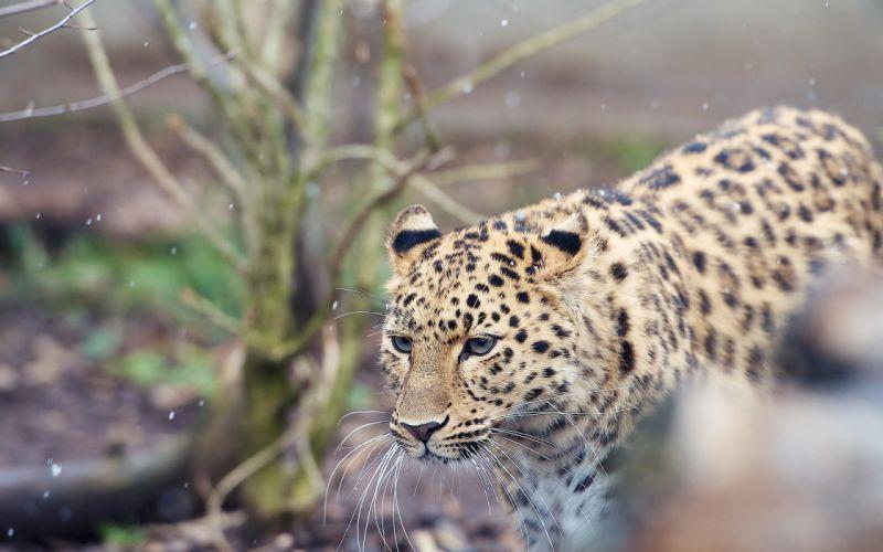 Leopard Snow wallpaper