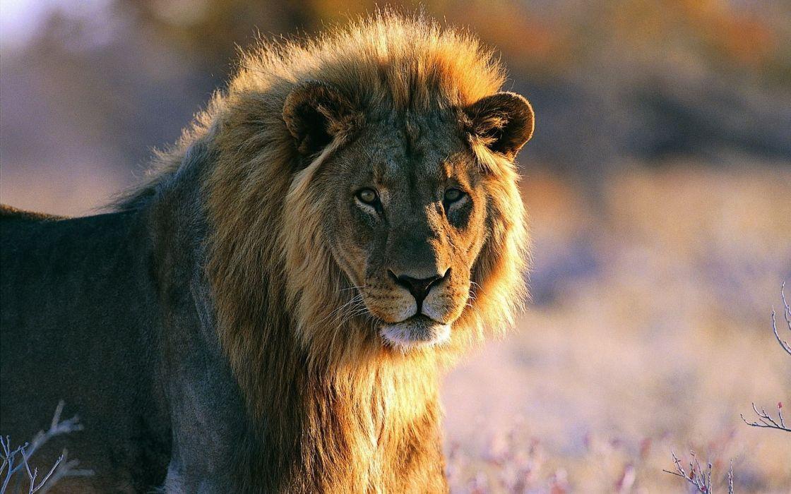 lion predator  h wallpaper