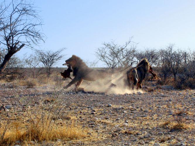 lion predator battle r wallpaper