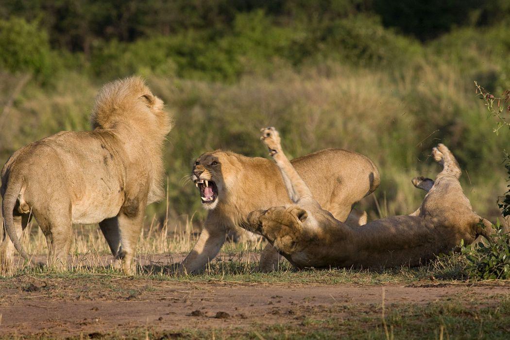 lion predator battle      j wallpaper