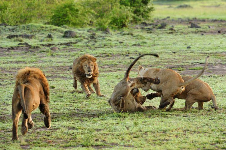 lion predator battle hd wallpaper