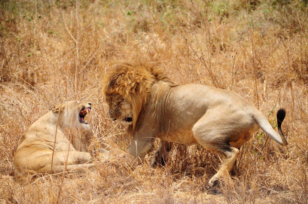 lion predator battle   t wallpaper