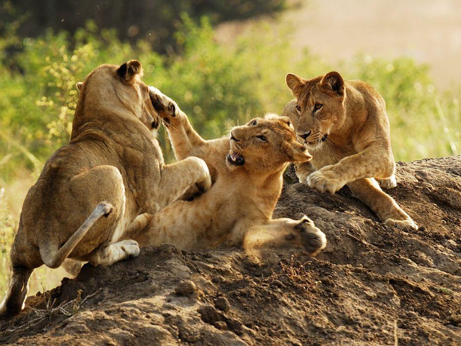 lion predator battle cub baby          g wallpaper