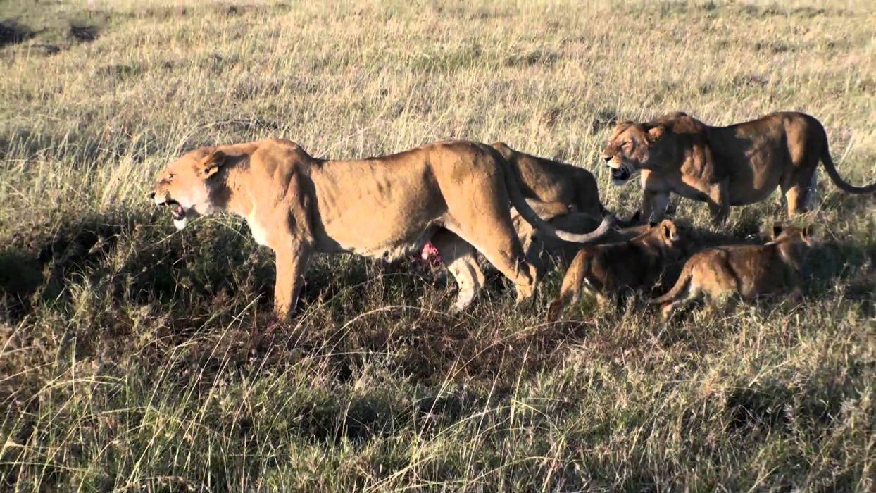 lion predator battle cub baby   tr wallpaper