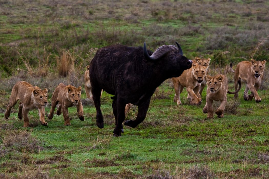 lion predator battle cow buffalo       f wallpaper