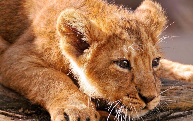 lion predator battle cub baby k wallpaper