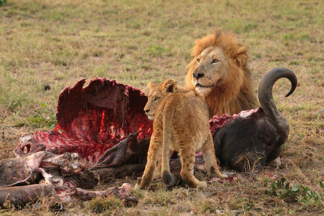 lion predator cub baby blood_JPG wallpaper