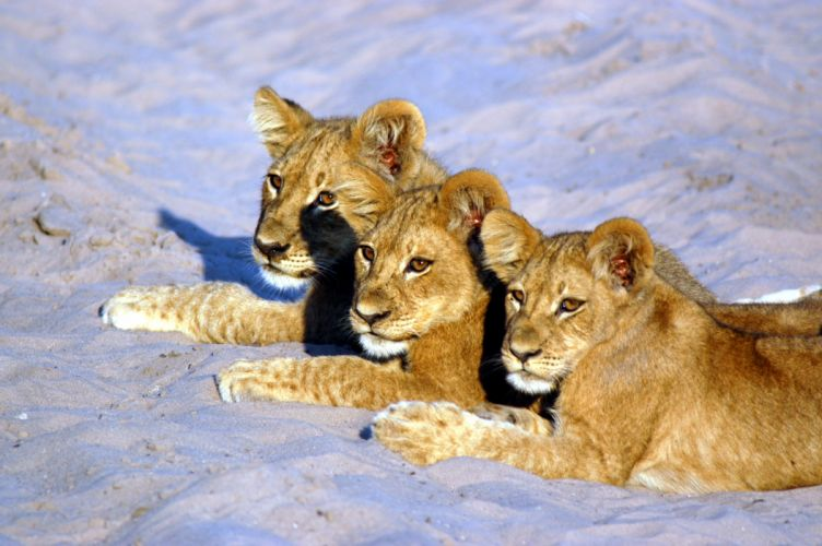 lion predator battle cub baby t wallpaper