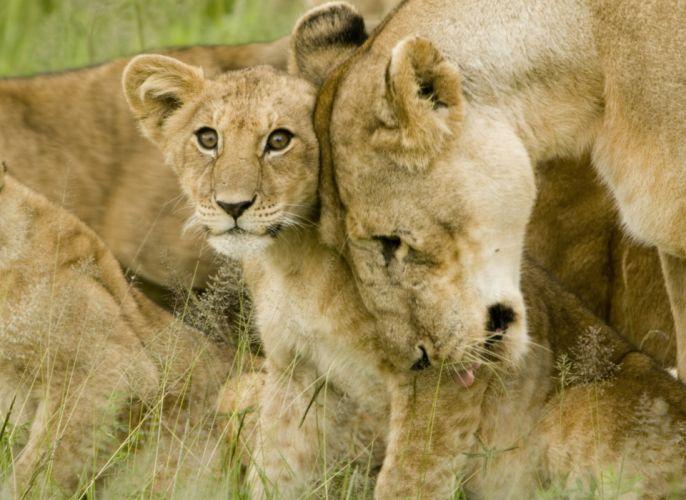 lion predator battle cub baby r wallpaper