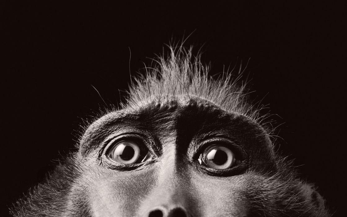 Monkey BW wallpaper