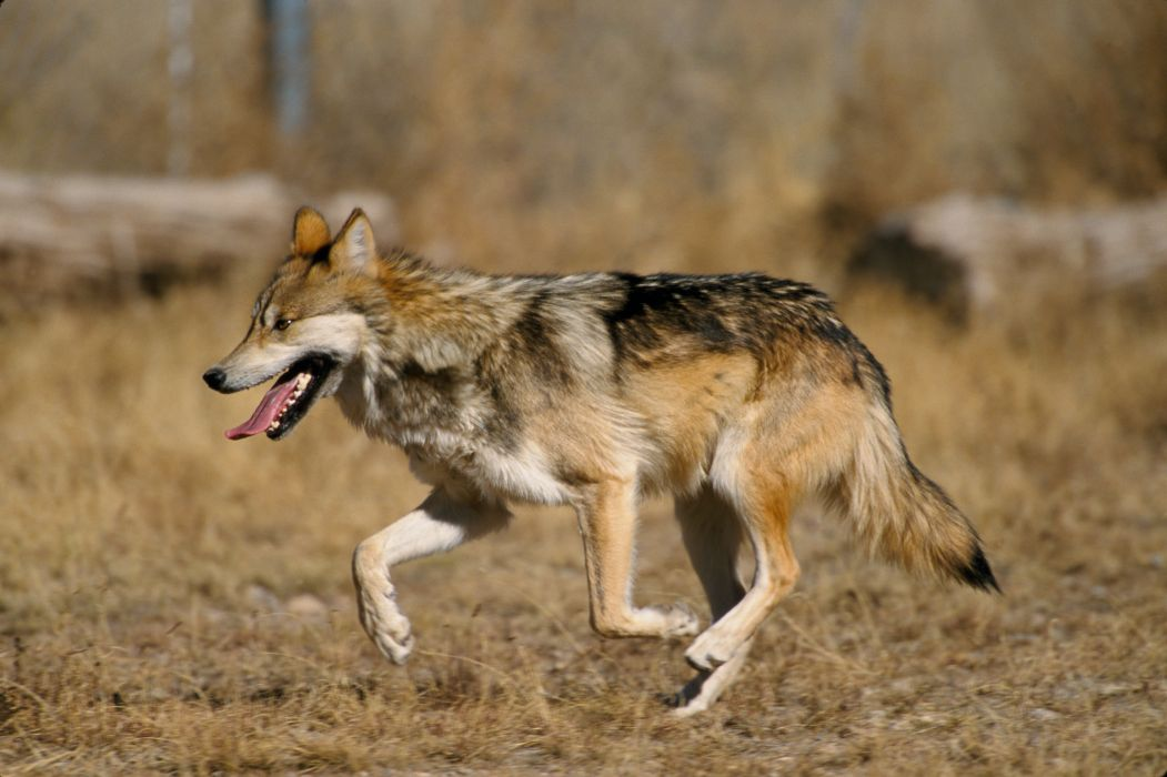 Mexican wolf wolves wallpaper