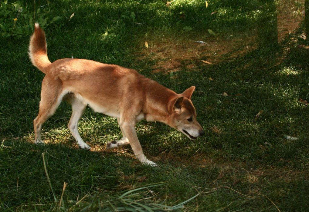 New Guinea singing dog grass wild dogs wallpaper