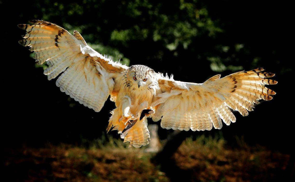 owl bird flying wings wallpaper