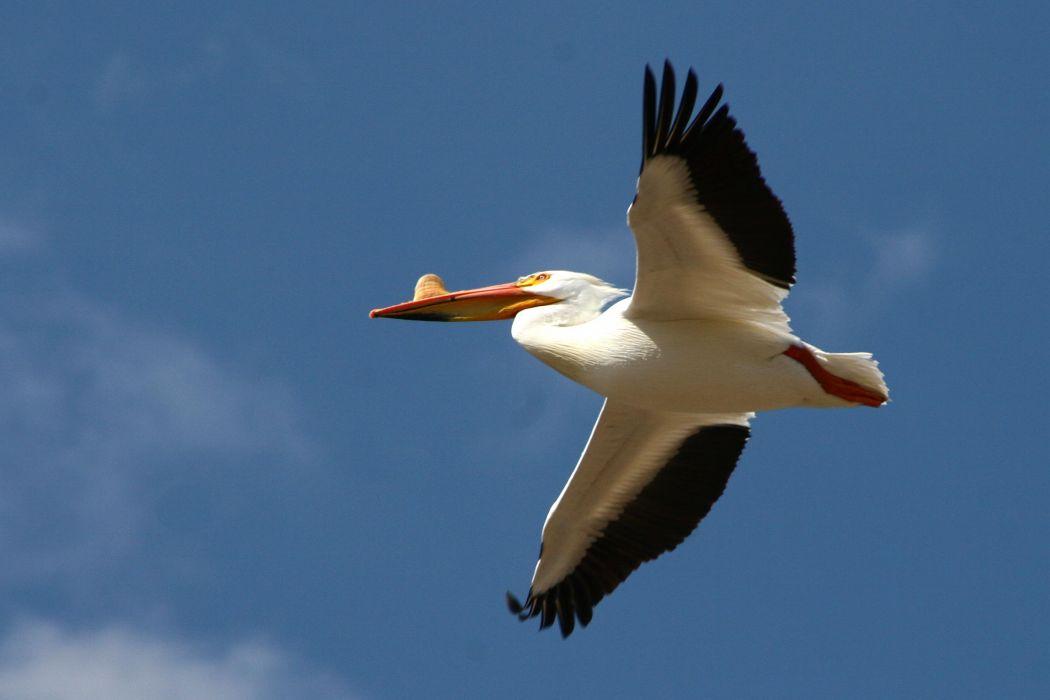 pelican bird   h wallpaper