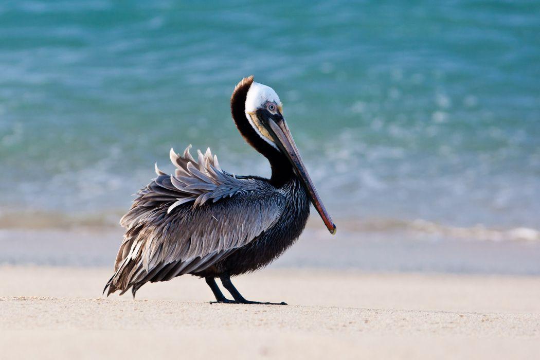 pelican bird beach         h wallpaper