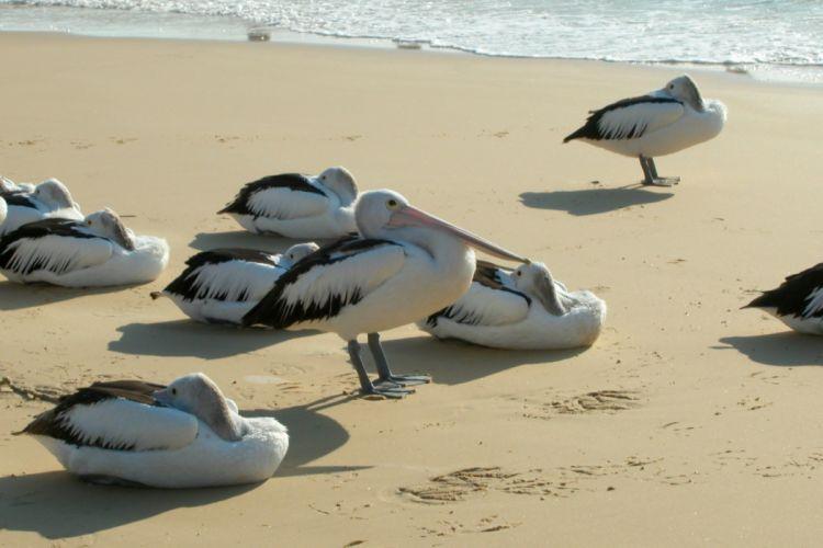 pelican bird beach p wallpaper