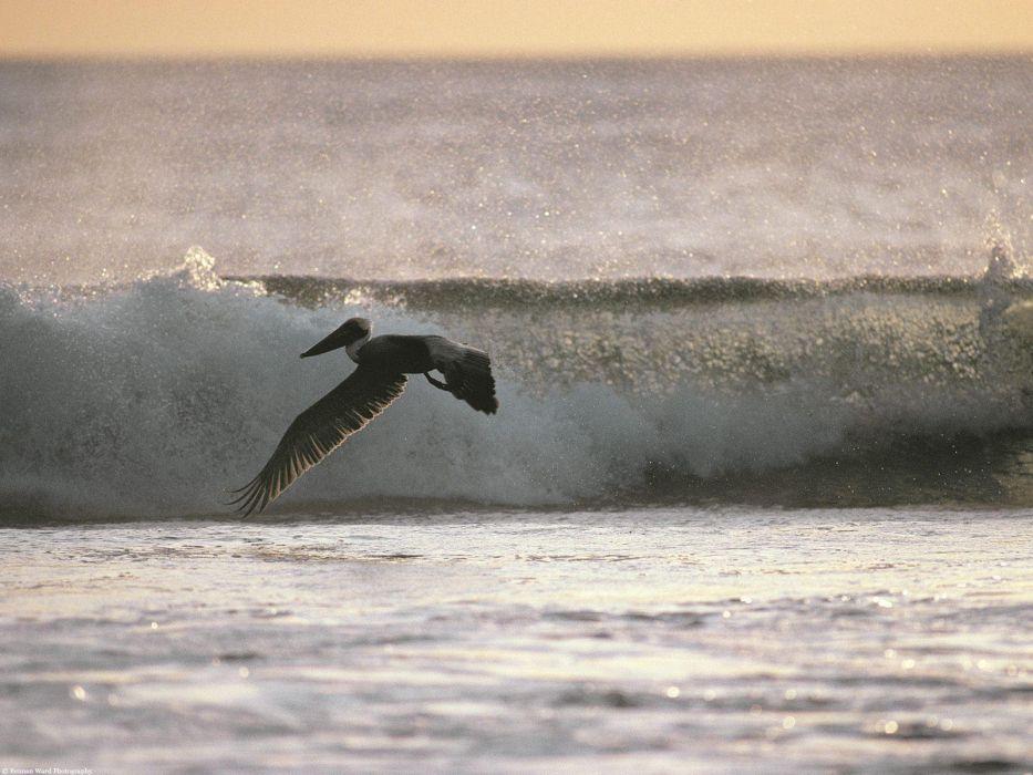pelican bird ocean waves wallpaper