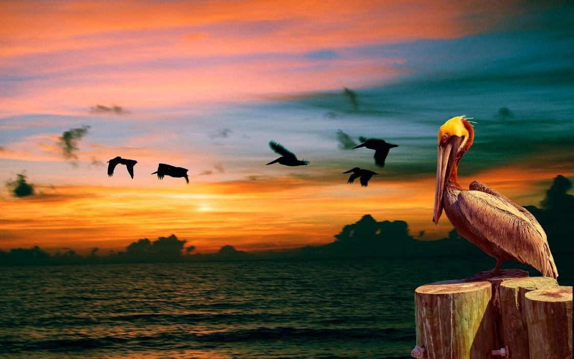 pelican bird sunset ocean     g wallpaper