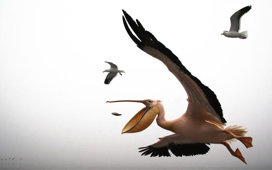 pelican seagull flying beak wallpaper