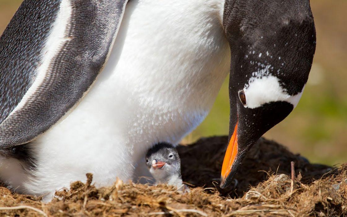 penguin nest baby chick wallpaper