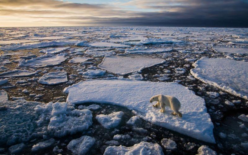 polar bear ice floe ocean arctic winter g wallpaper