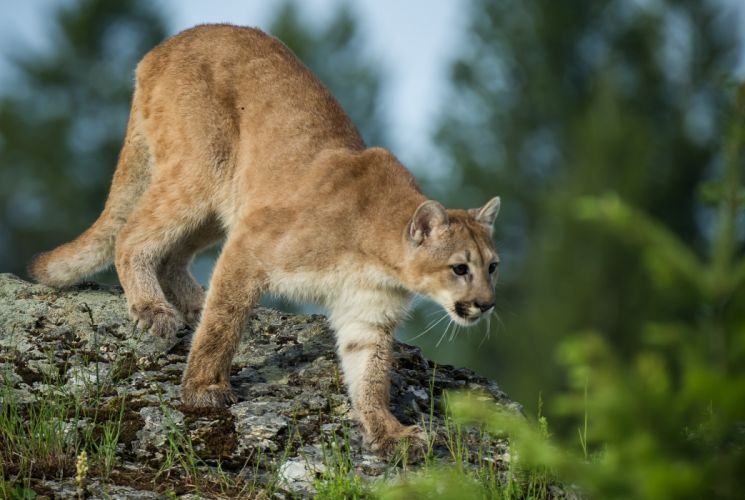 puma cougar mountain lion wild cat h wallpaper